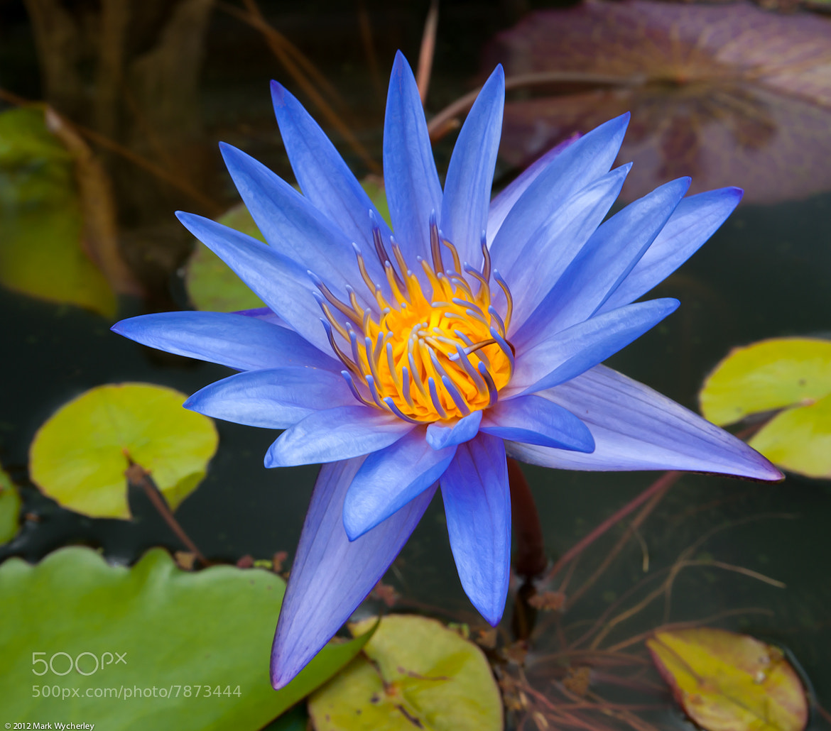 Photograph Thai water lilly by Mark Wycherley on 500px