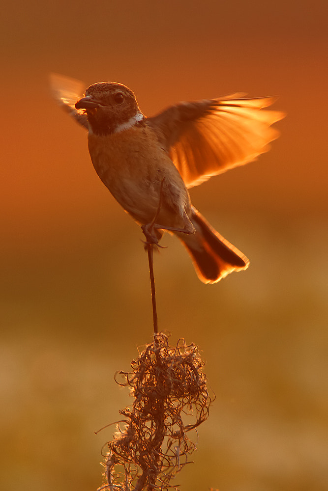Photograph Golden wings! by Tom  Kruissink on 500px