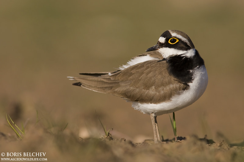 Photograph Little ringed plover (Charadrius dubius) by Boris Belchev on 500px