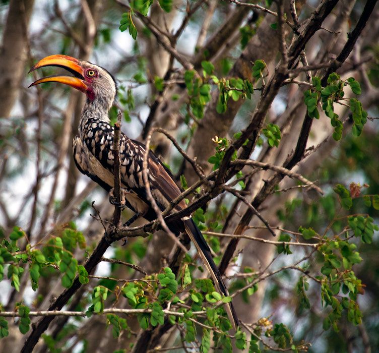 Photograph Southern Yellow-billed Hornbill 2 by Sheree Richter on 500px