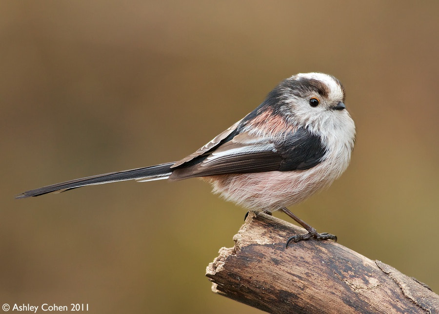 Photograph Long-Tailed Tit by Ashley Cohen on 500px