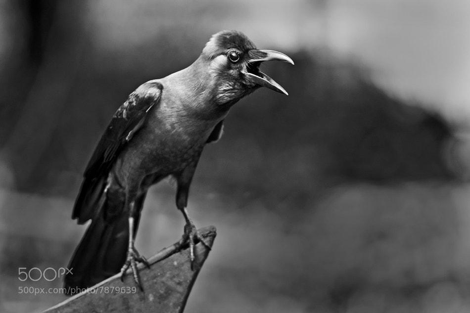 Photograph Crow by shlomi nissim on 500px