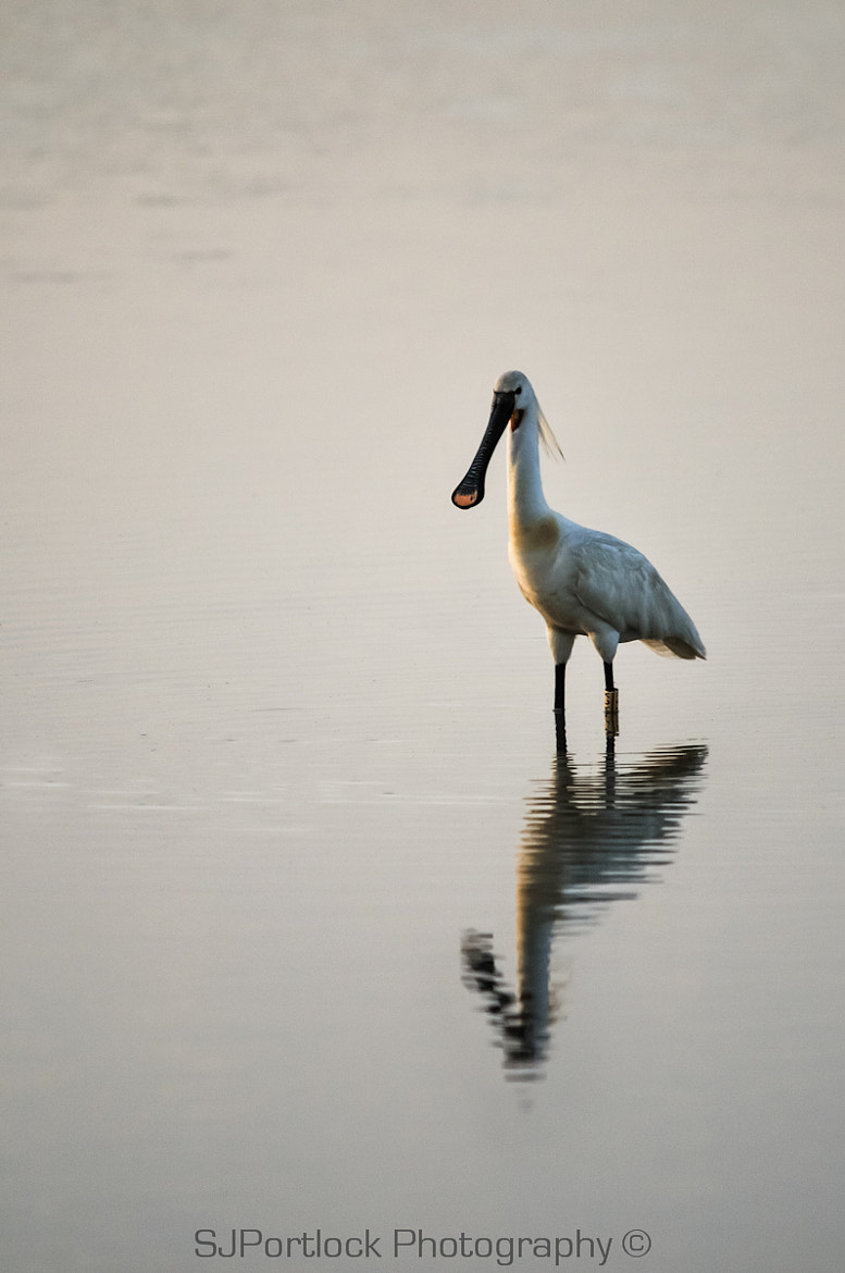 Photograph Spoonbill  by Stephen Portlock on 500px