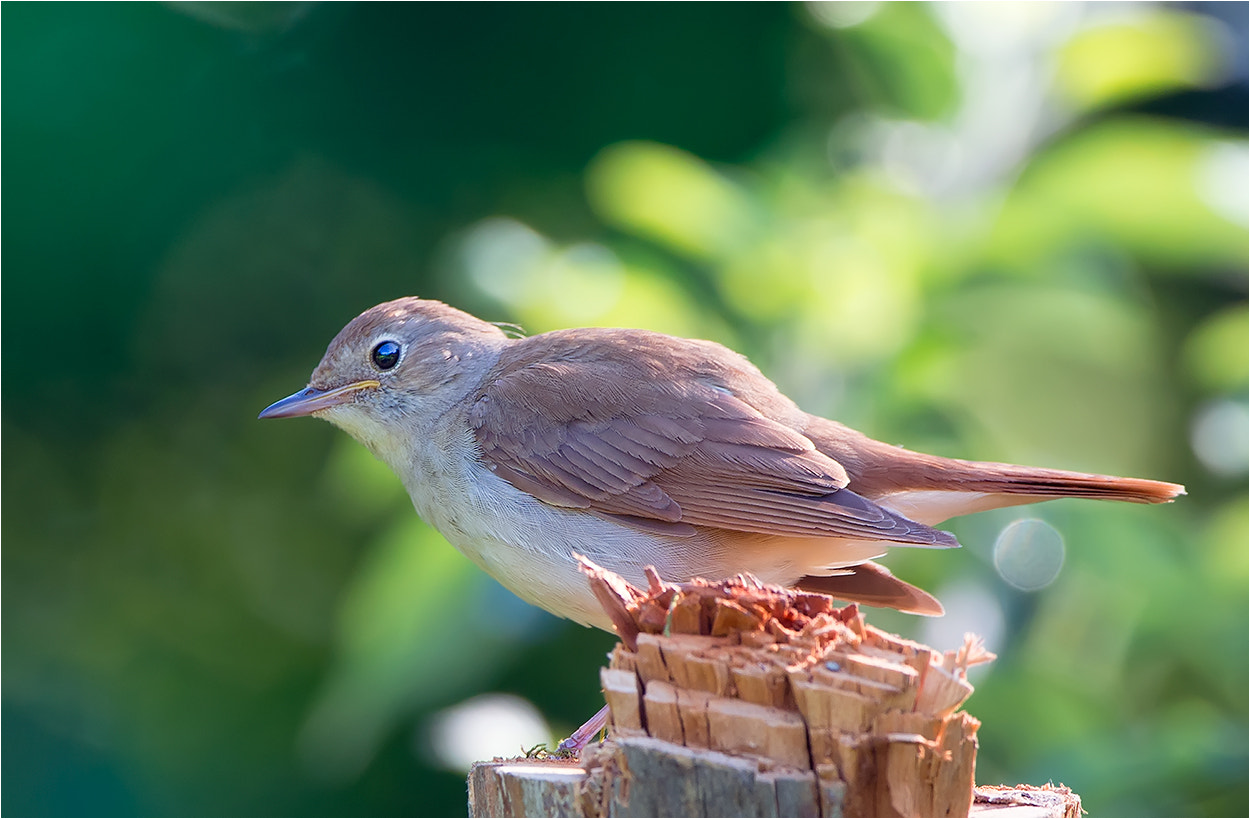 Photograph Common Nightingale / Nachtigall by Hans Rentsch on 500px