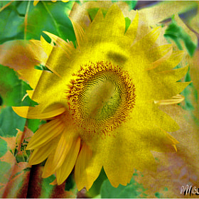 Girasol by MIQ 1953 (MIQ1953)) on 500px.com