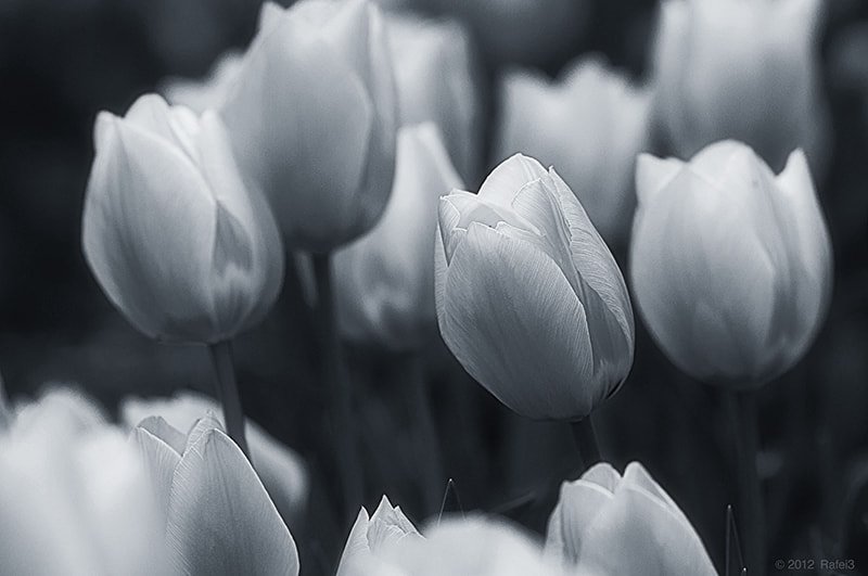 Photograph Tulip by Omar Aziz on 500px