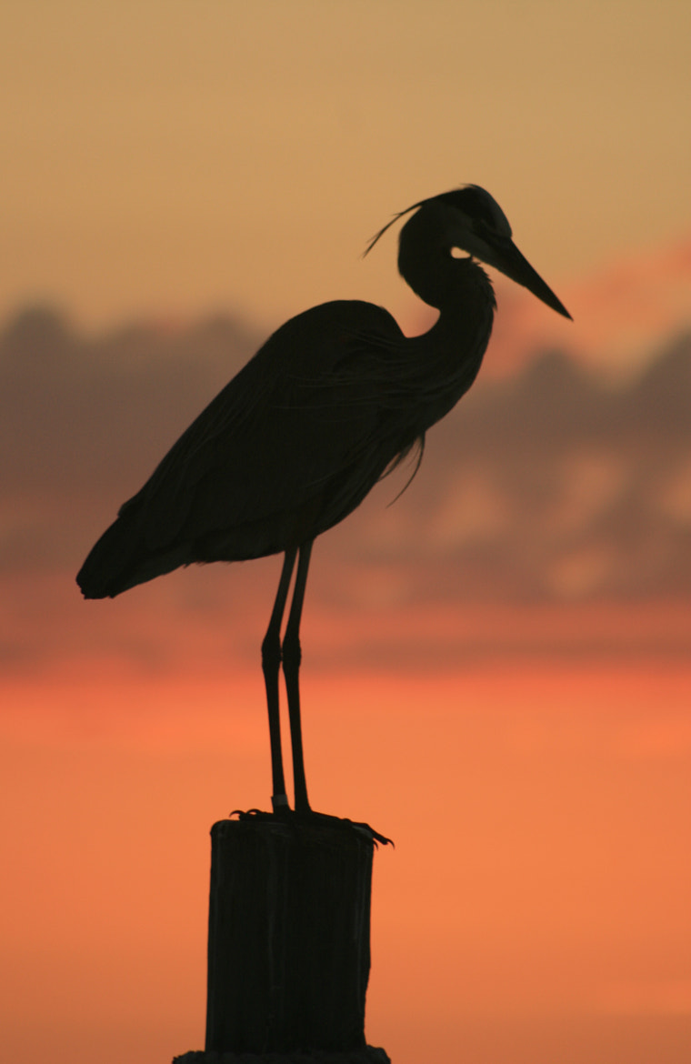 Photograph Heron Silhouette by Kat  Riggio on 500px