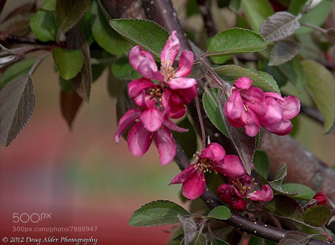 Photograph Dwarf Candied Crab Apple blossoms by Doug Alder on 500px