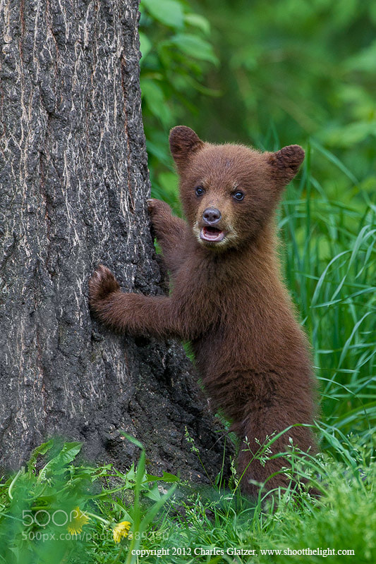 Photograph Black bear spring cub (cinnamon color phase) by Charles Glatzer on 500px