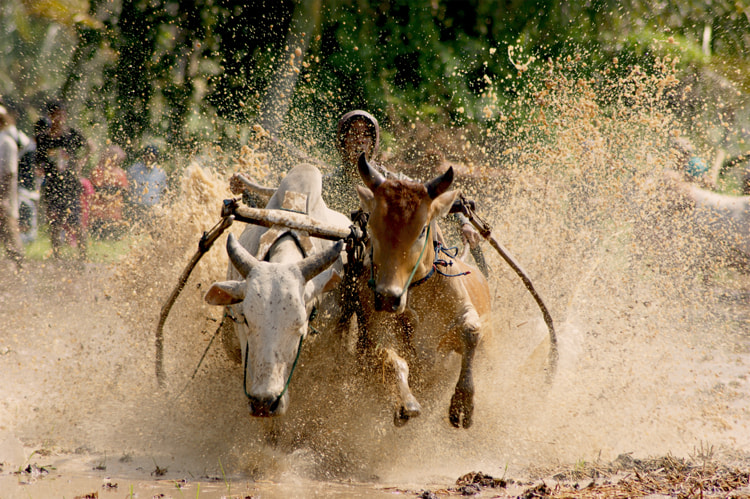 Photograph cow racer by Andika Putra on 500px