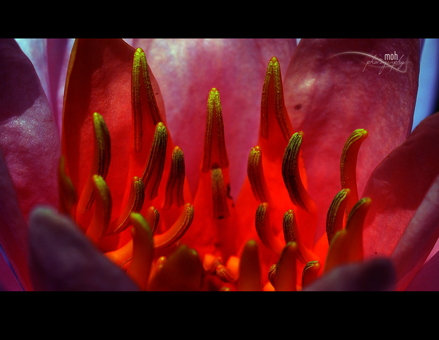 Photograph Dancing Stamens by Mohan Duwal on 500px