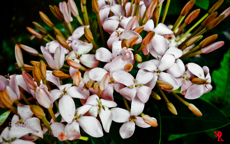 Photograph Ixora Pink(Jungle geranium) by Rohan Pavgi on 500px