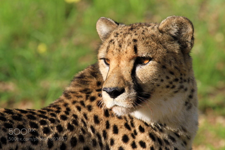 Photograph Cheetah in the sun - Namibia by Benjamin Nocke on 500px