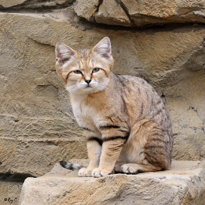 Photograph Sand Cat by Roy Churchill on 500px