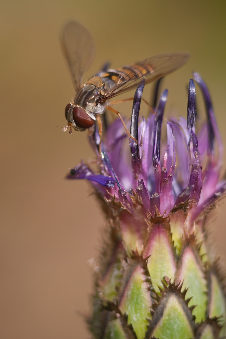 Photograph Hoverfly helping pollenation by Karl Batchelor on 500px