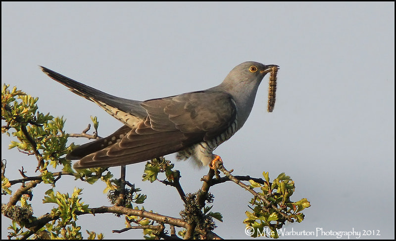 Photograph Cuckoo by Mike Warburton on 500px