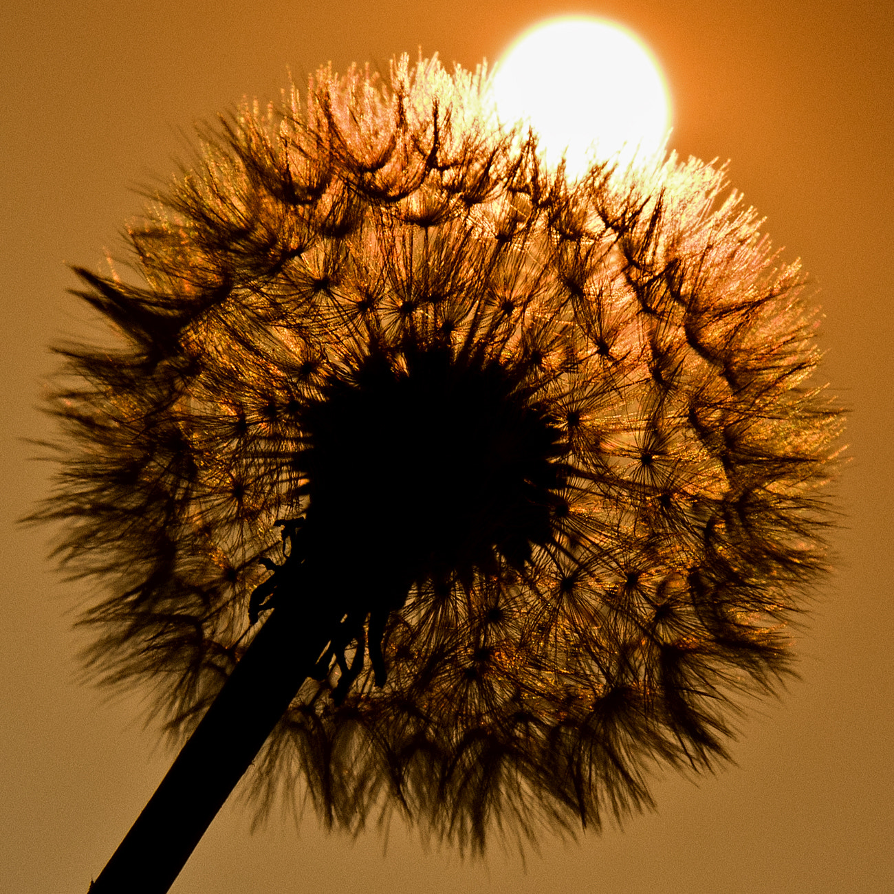 Photograph Dandelion Eclipse by Alan Sheers on 500px