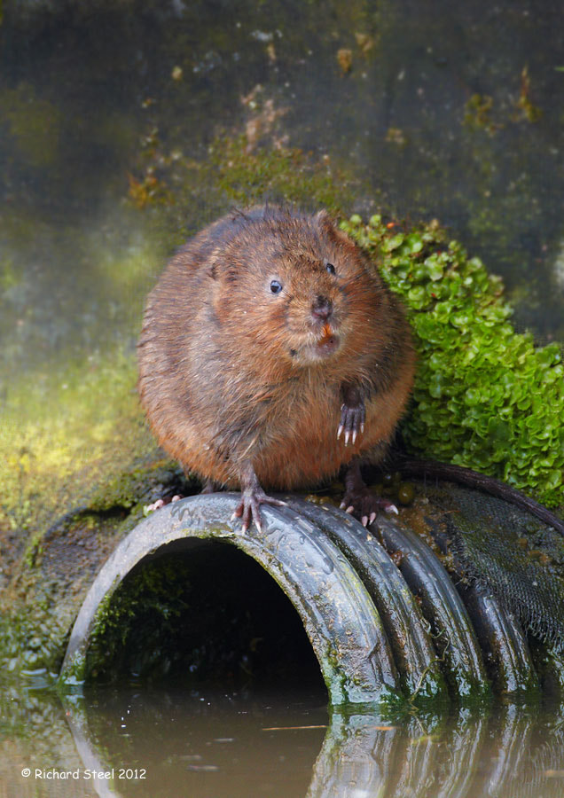 Photograph Vole on a hole by Richard Steel on 500px