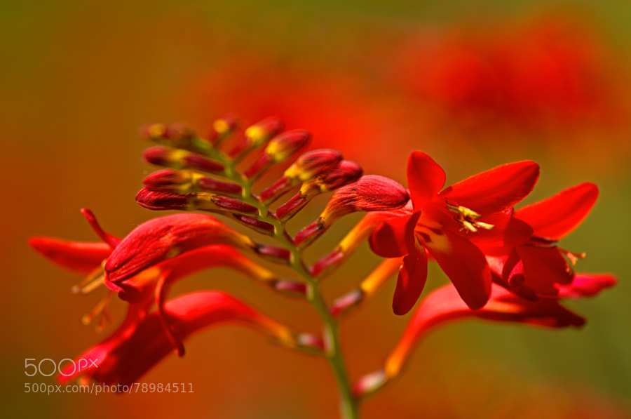Photograph crocosmia by paul andrews on 500px