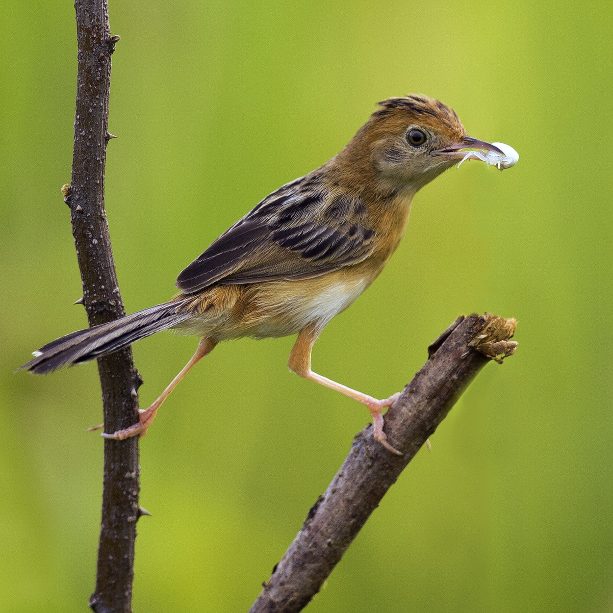 Photograph Golden Headed Cisticola by SIJANTO NATURE on 500px