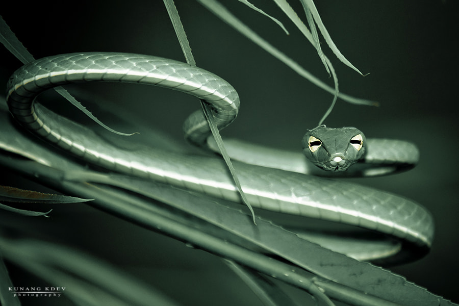Photograph Green Vine Snake by kunang kdev on 500px