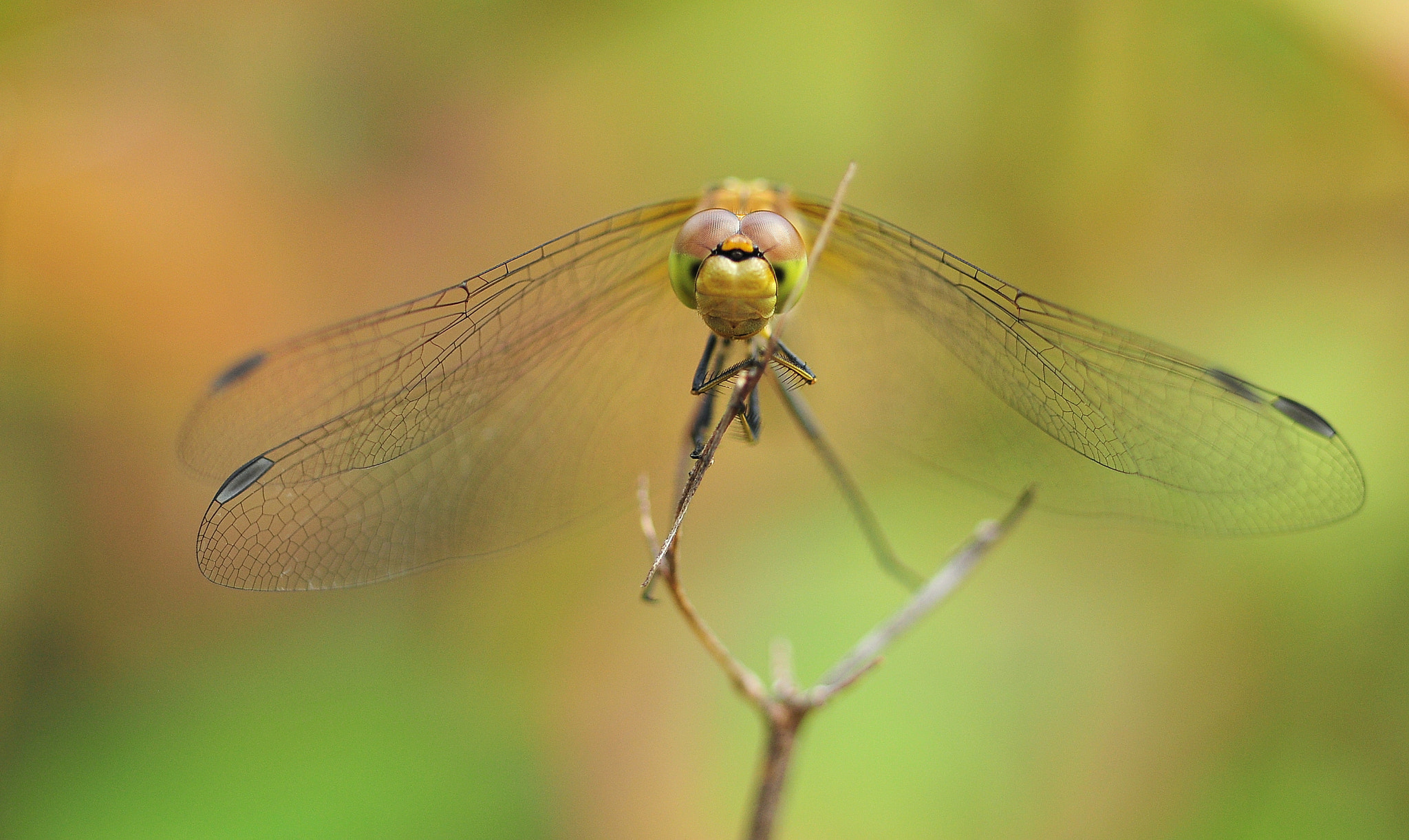 Photograph Dragonfly with a stick in it´s hands by Angelika Lambertin on 500px