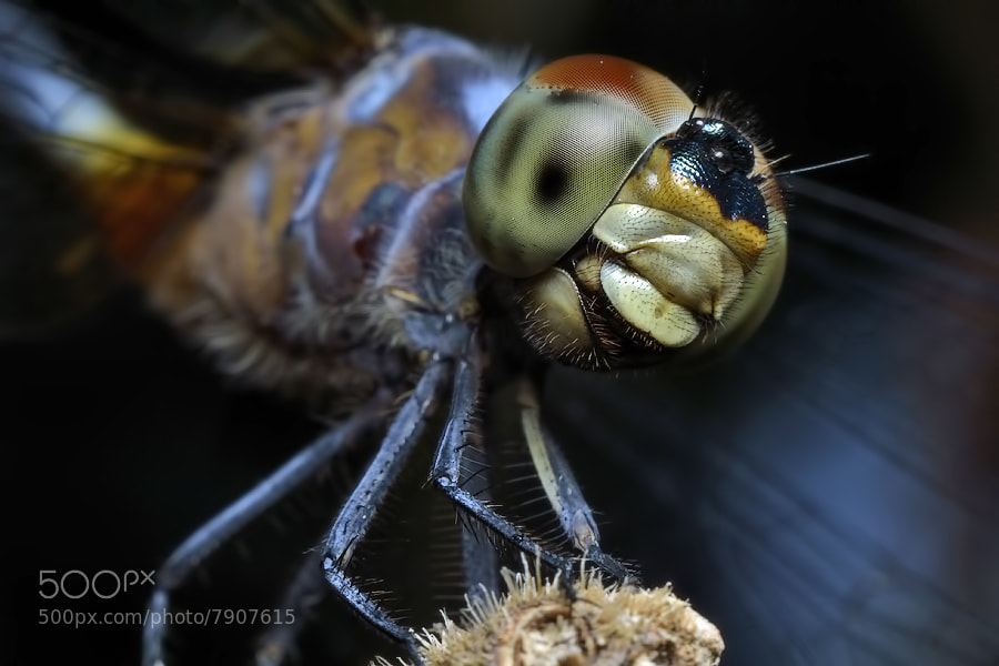 Photograph Dragonfly Face by Donald Jusa on 500px