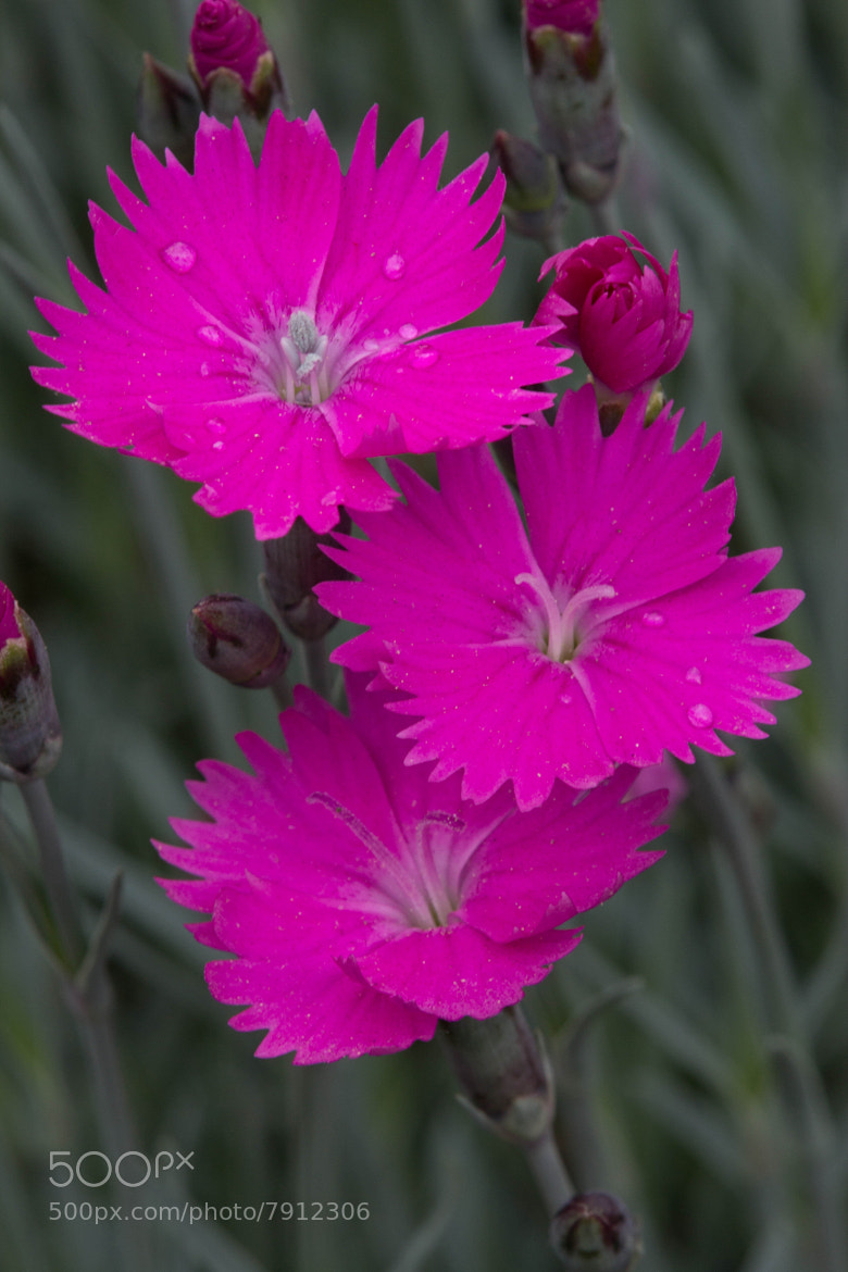 Photograph Pink Dianthus by Matt Bradshaw on 500px