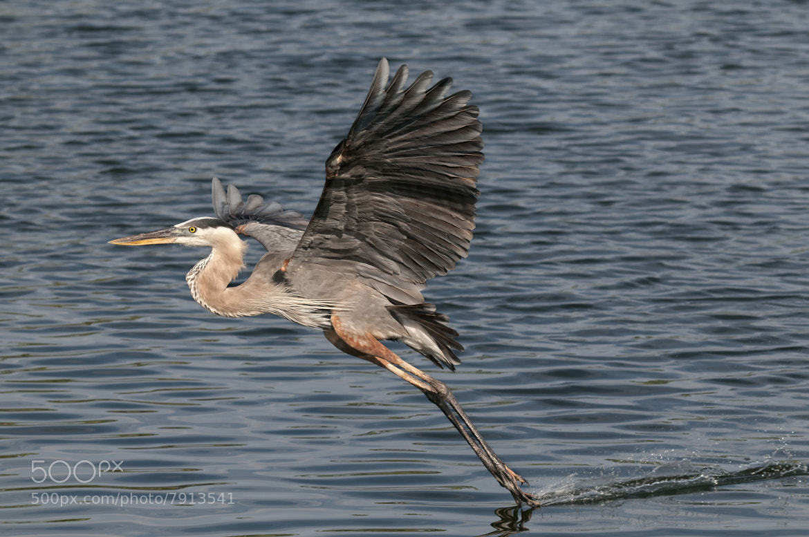 Photograph heron striking water by stuart wanuck on 500px