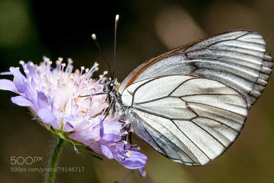 Photograph Aporia crataegi by Denis Belyaev on 500px
