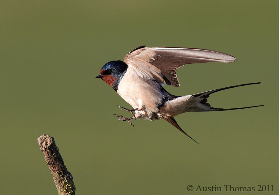 Photograph Swallow landing by Austin Thomas on 500px