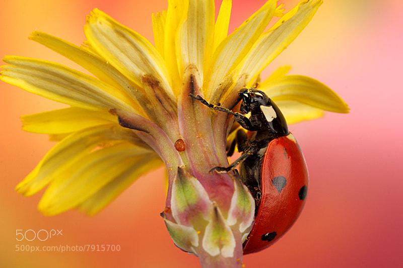 Photograph Ladybug by Paulo Torck on 500px