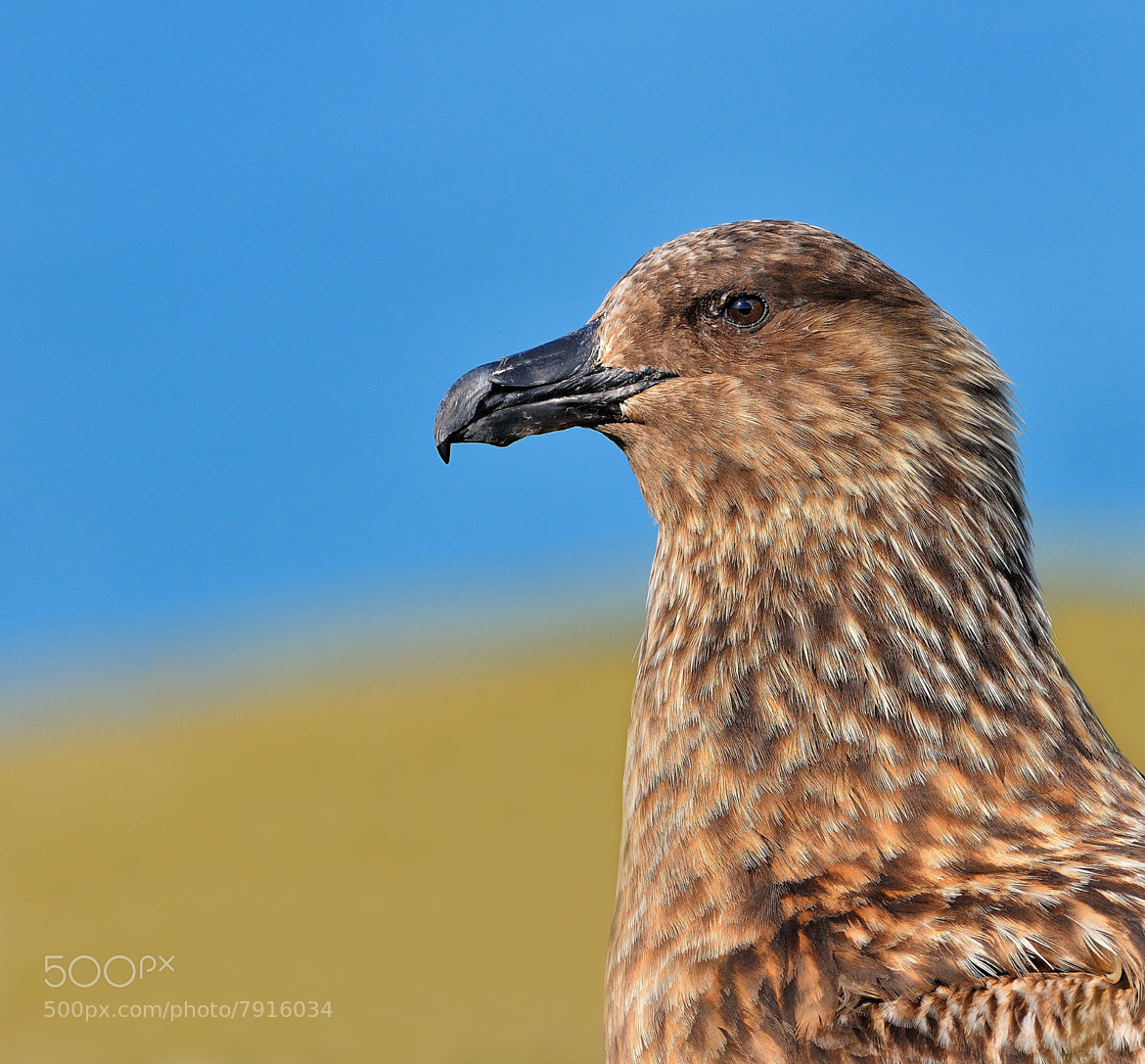 Photograph Great skua by Ronnie Bergström on 500px