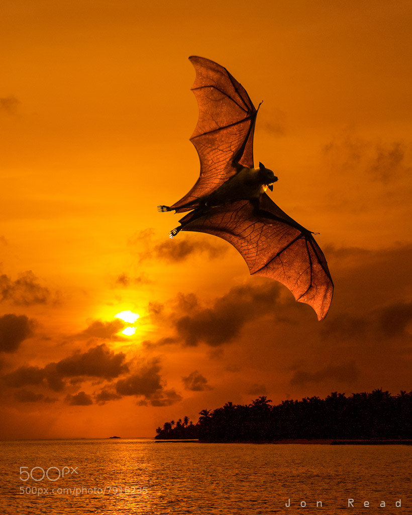 Photograph Sunset Bat by Jon Read on 500px