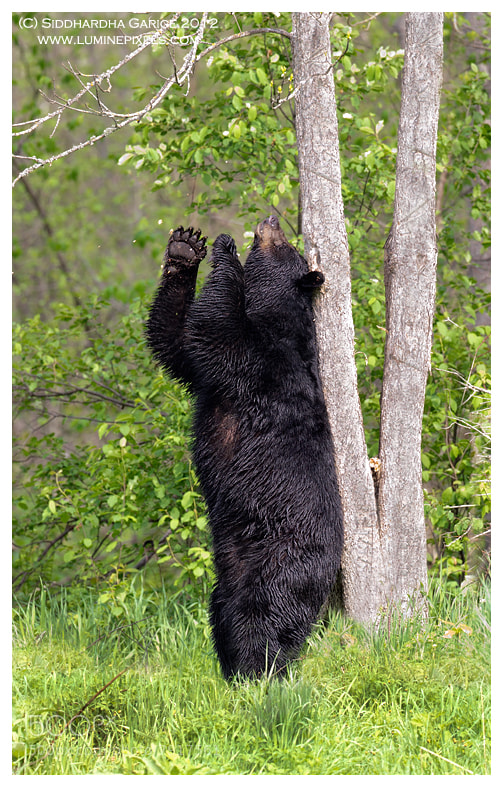 Photograph Black Bear Scent Marking by Siddhardha Garige on 500px