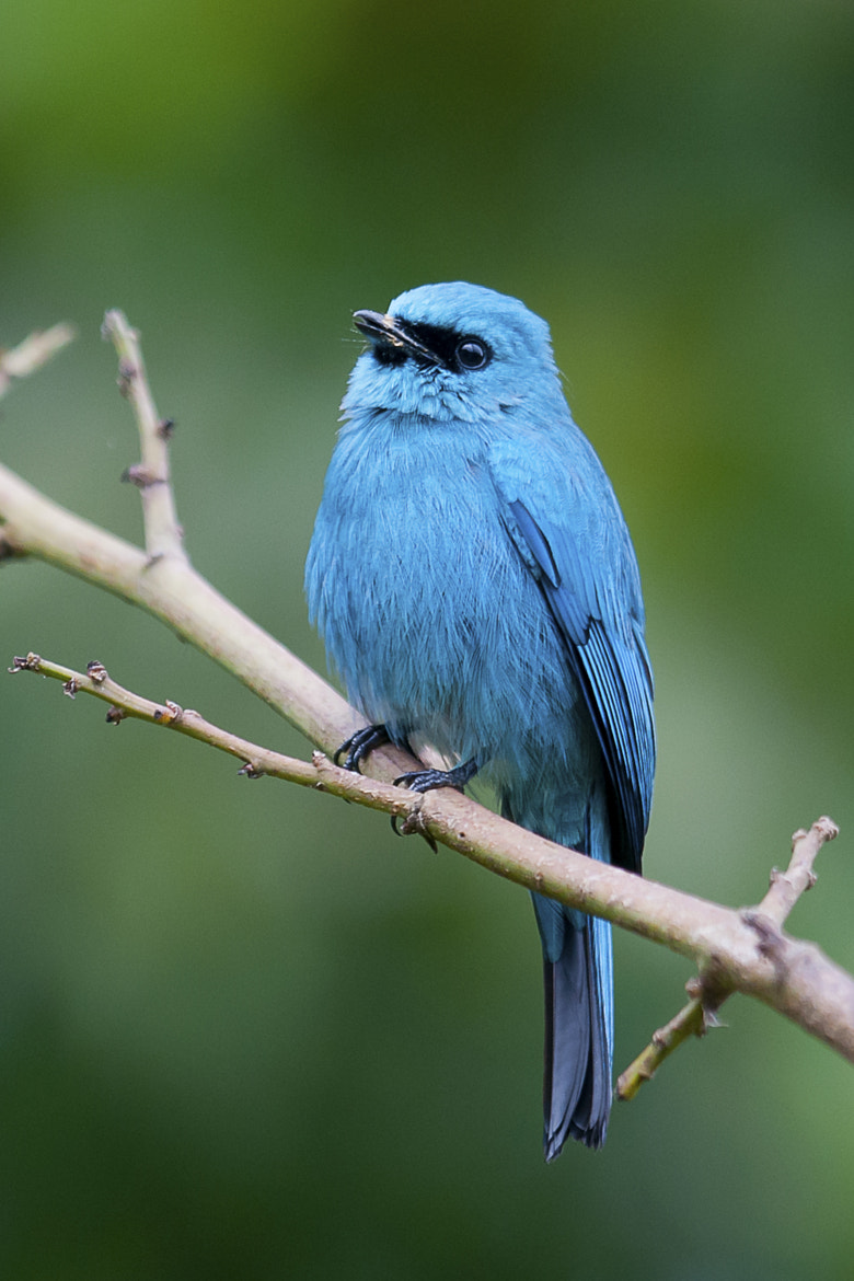 Photograph Verditer Flycatcher by Allan Seah on 500px