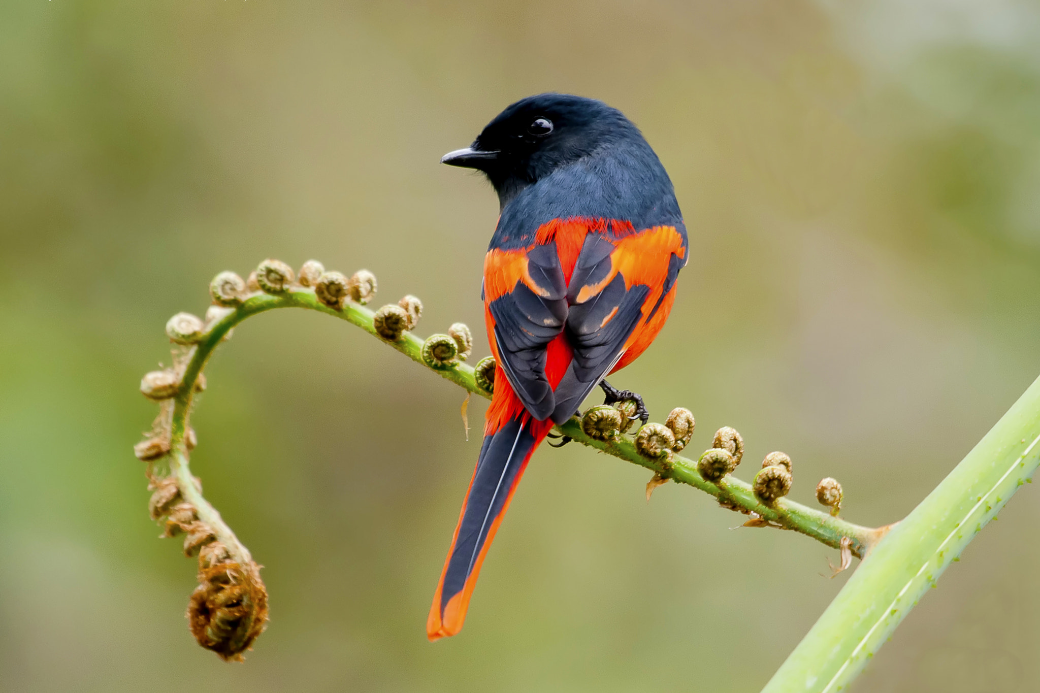 Photograph Grey-chinned Minivet by Allan Seah on 500px