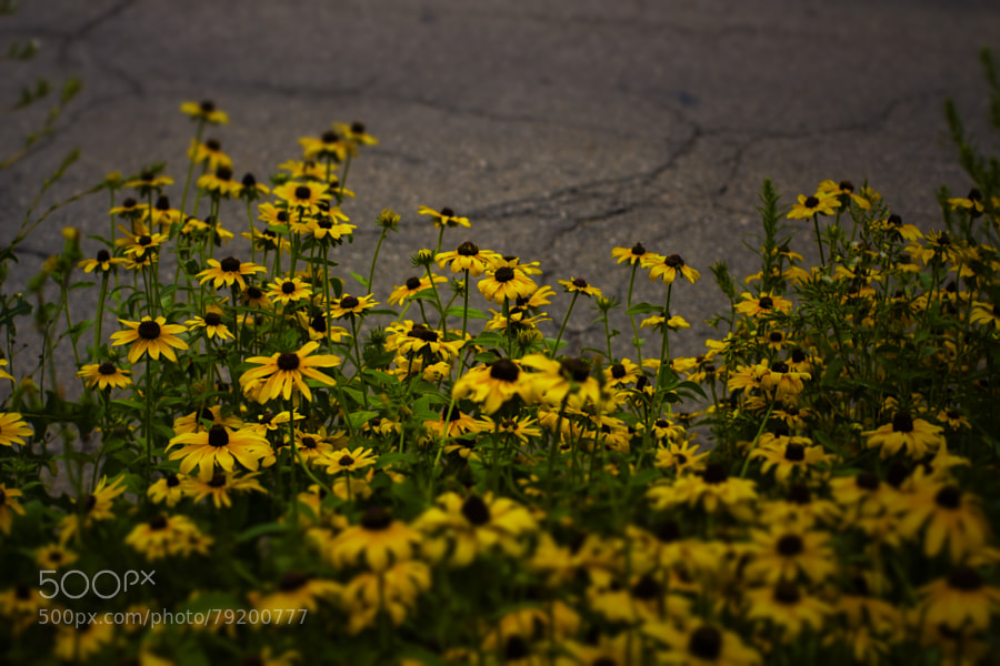 Photograph Black Eyed Susans by Jeff Carter on 500px
