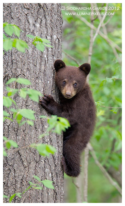Photograph Black bear cub by Siddhardha Garige on 500px