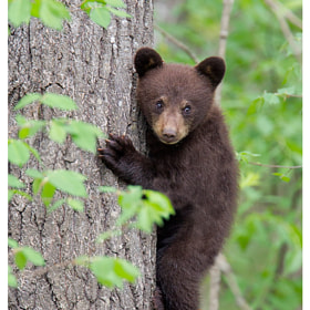 Black bear cub by Siddhardha Garige (luminepixels)) on 500px.com