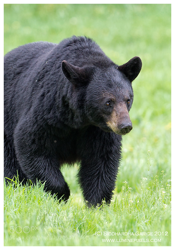 Photograph Black bear by Siddhardha Garige on 500px