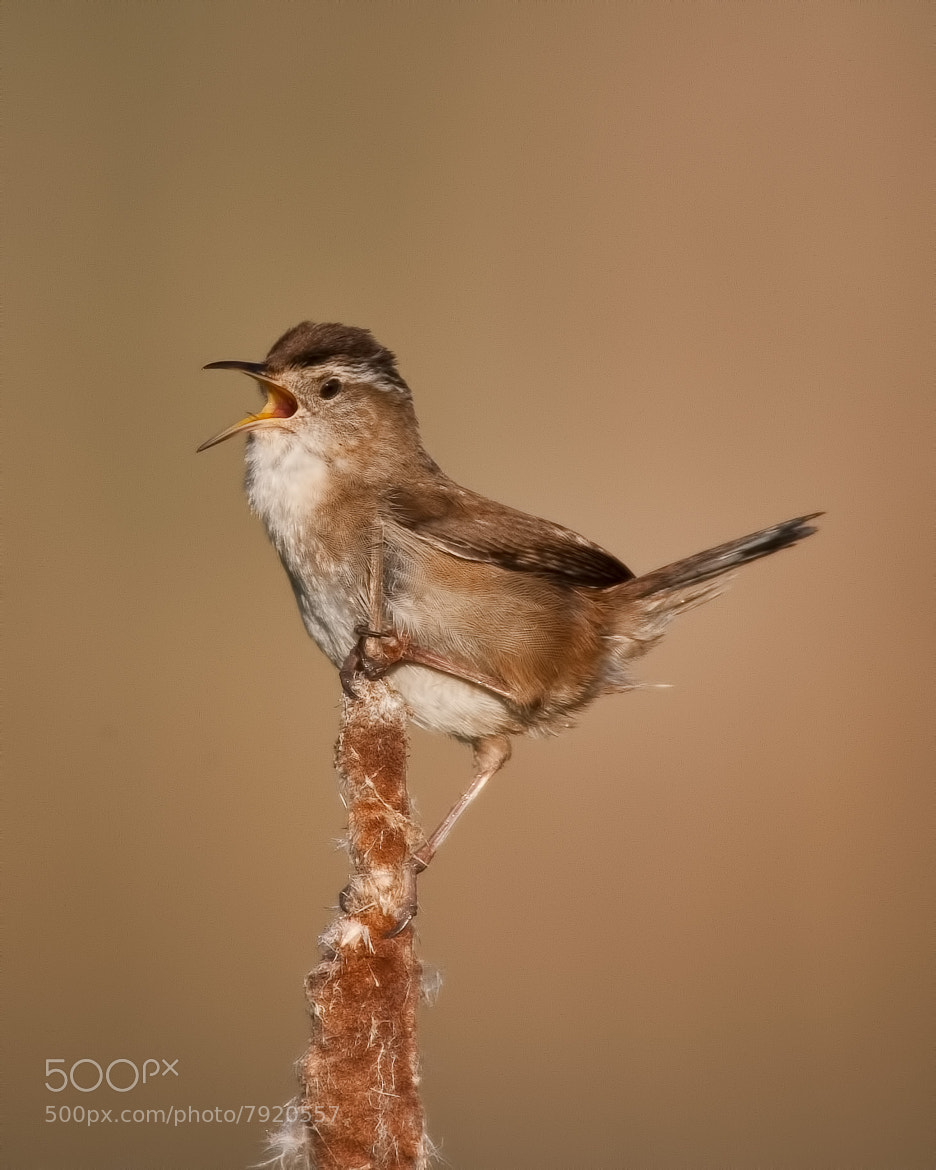 Photograph Marsh Wren ( Troglodyte des marais ) by bruno Lazzoni on 500px