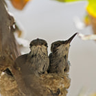 A family of hummingbirds that are protecting their eggs in a small nest in Tarzana, California.