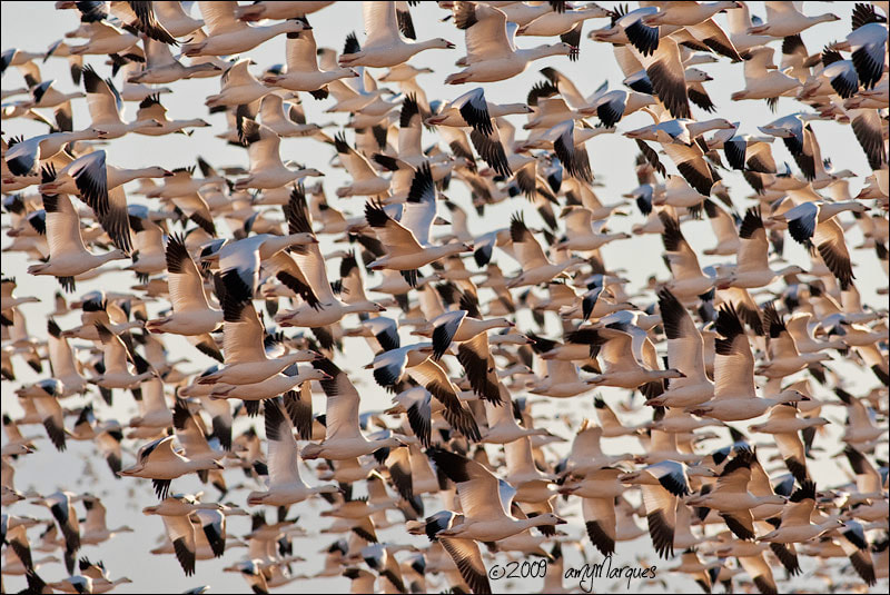 Photograph Snow Goose Blast Off by Amy Marques  on 500px