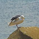 A seagull ready to take flight in Morro Bay, California.