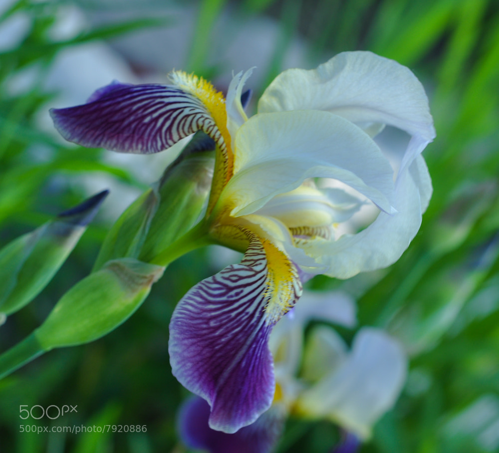 Photograph Iris...... by Izabella Tinc on 500px