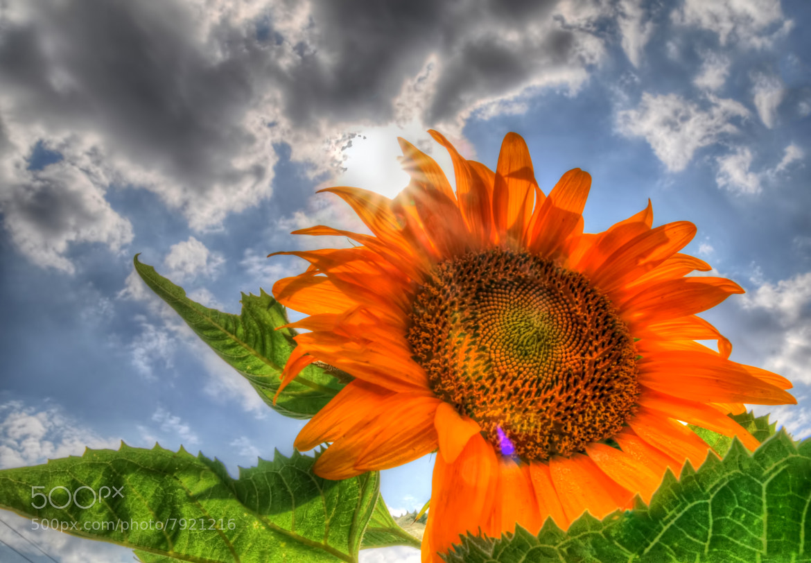 Photograph Sunflower illuminated by the Sun  by Ronnie Wiggin on 500px