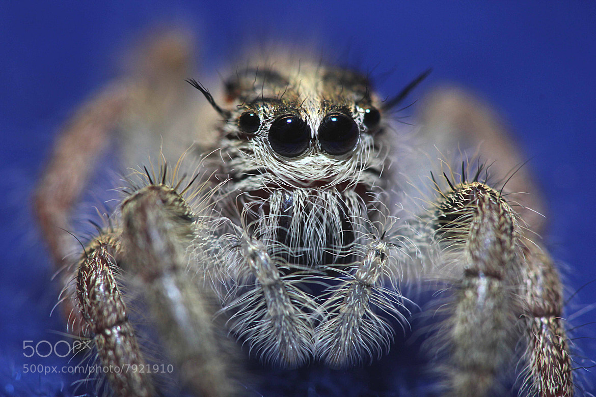 Photograph Jump Spider by Fathur Rohman on 500px