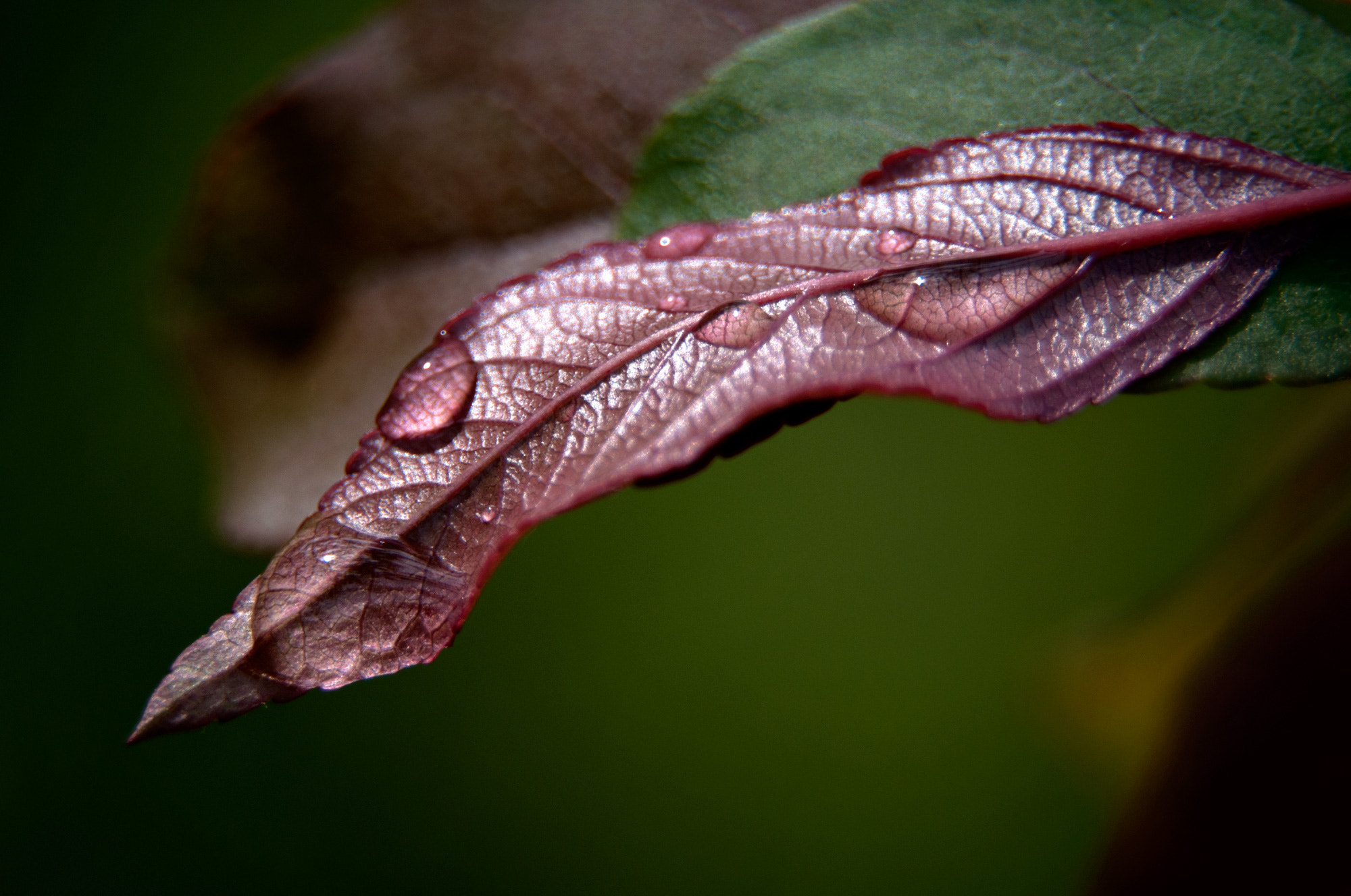 Photograph Morning Dew Leaf by Carla Stringari Pudler on 500px