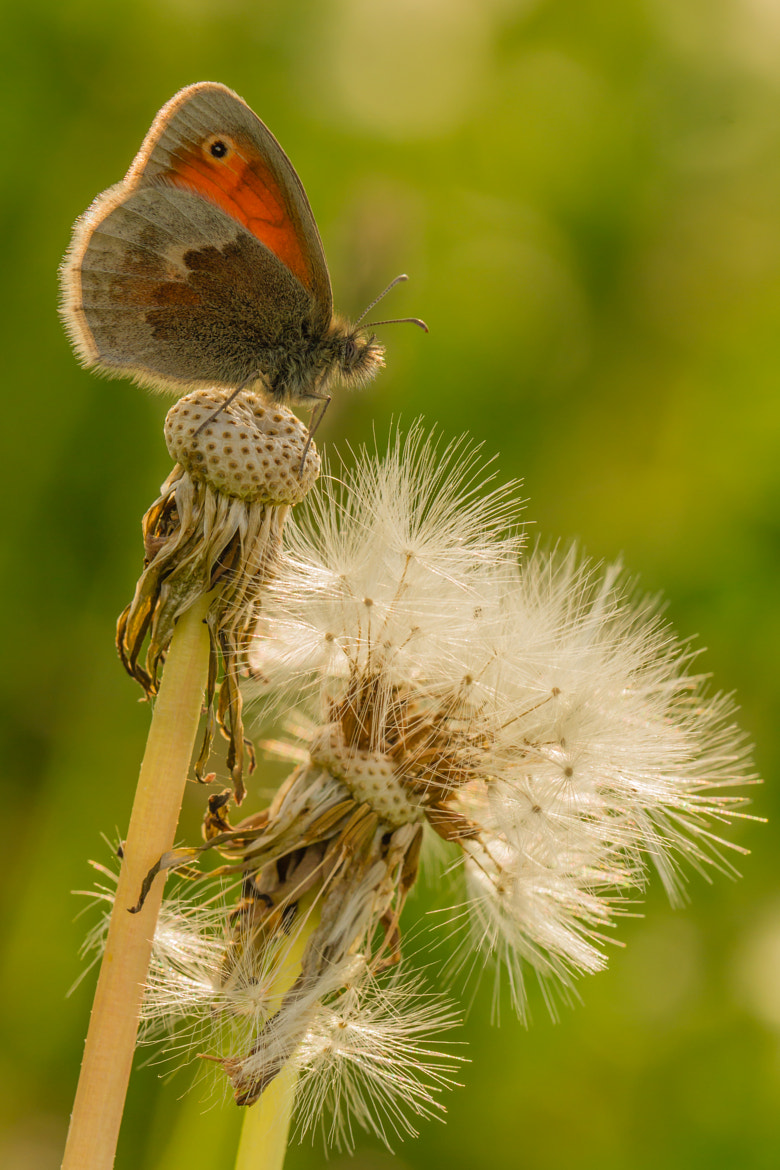 Photograph Coenonympha Pamphilus by Markus _ on 500px
